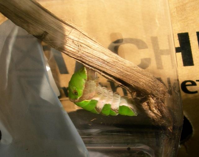 クロアゲハの飼育記録(5) ハイドン青虫に変身、マレー蛹の準備