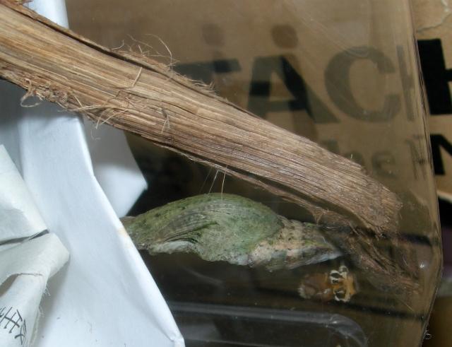 クロアゲハの飼育記録(6)マレー、蛹化する