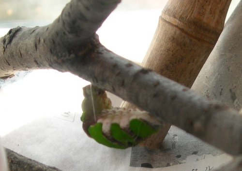 クロアゲハの飼育記録(7)ー バッハとヘンデル、蛹の準備