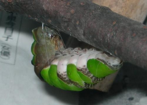 クロアゲハの飼育記録(8)ー バッハとヘンデル、蛹に