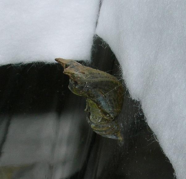 クロアゲハの飼育記録(12) ハイドンの羽化
