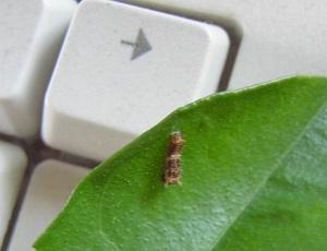 アゲハの幼虫2
