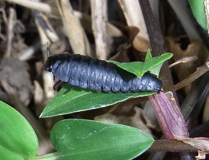 オオヒラタシデムシの幼虫