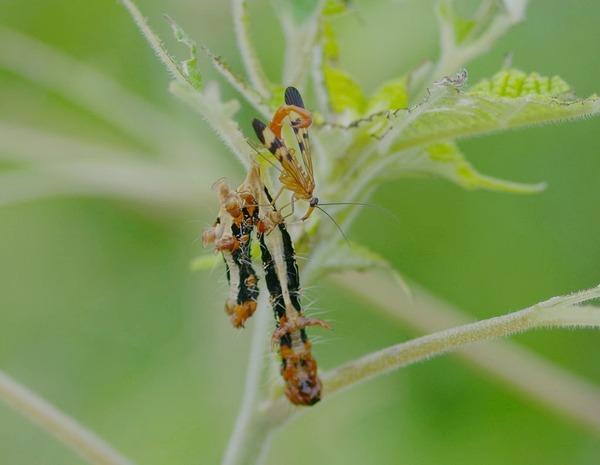 ベッコウシリアゲとフクラスズメの幼虫