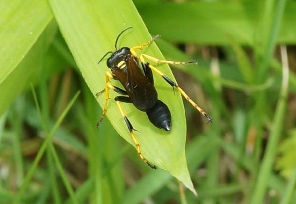 アメリカジガバチ
