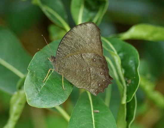 クロコノマチョウ アカタテハの幼虫