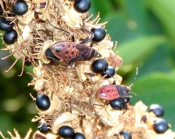 オオホシカメムシの幼生がいっぱい
