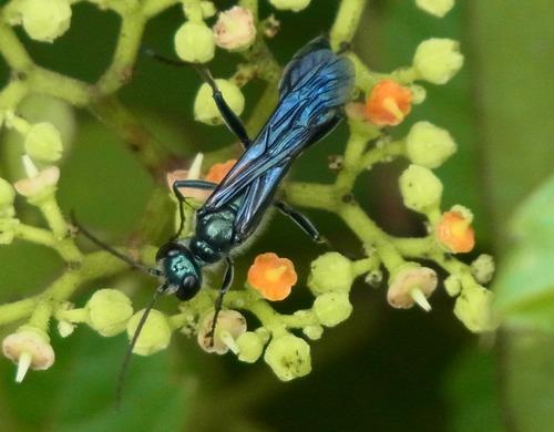 ルリジガバチ
