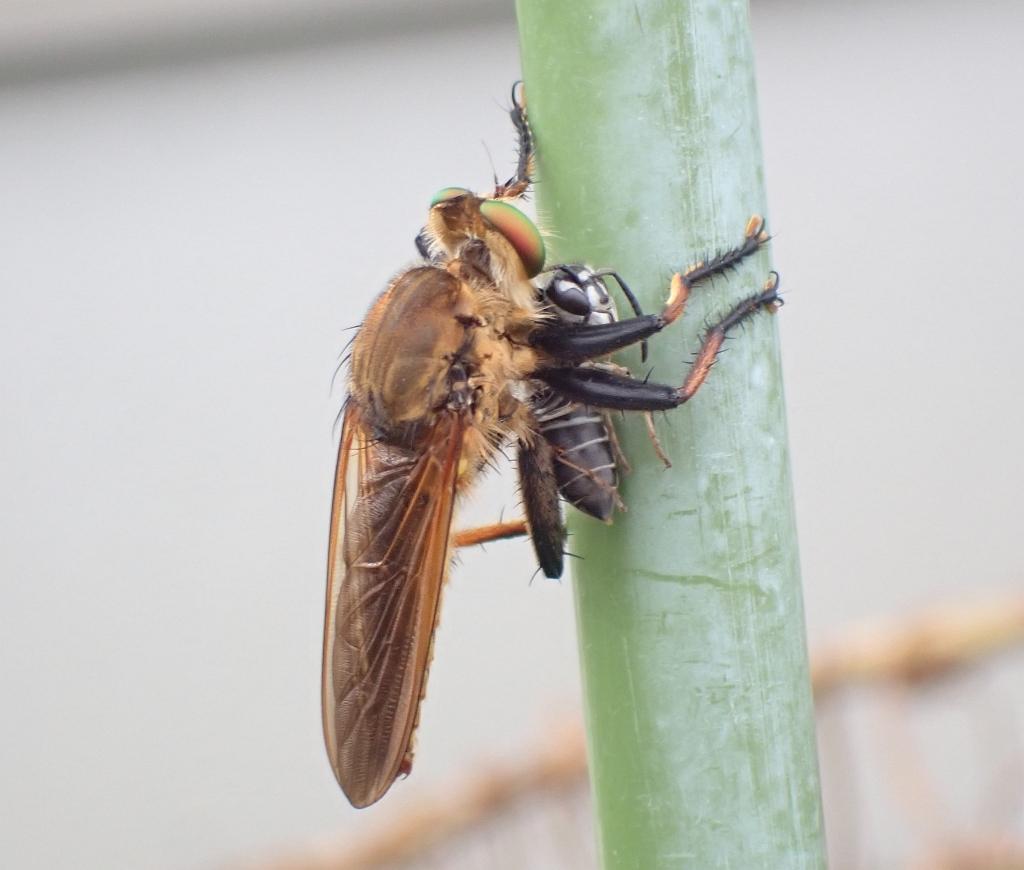 アオメアブ クロスズメバチを捕らえる