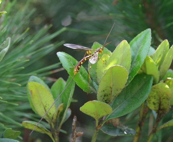 オナガバチ Megarhyssa sp1