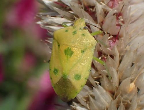 ミナミアオカメムシ 緑型、黄色型、白帯型