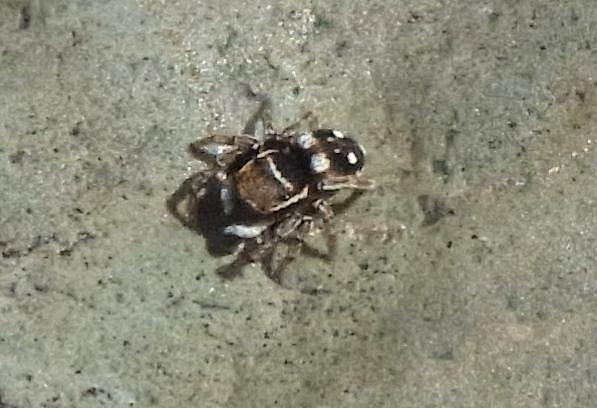 シラホシコゲチャハエトリ ♂