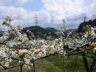 2015梨の花3
