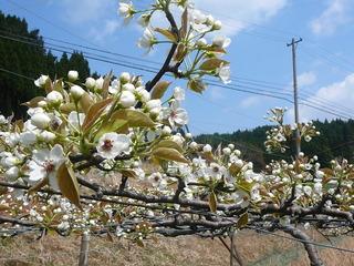 2015梨の花2