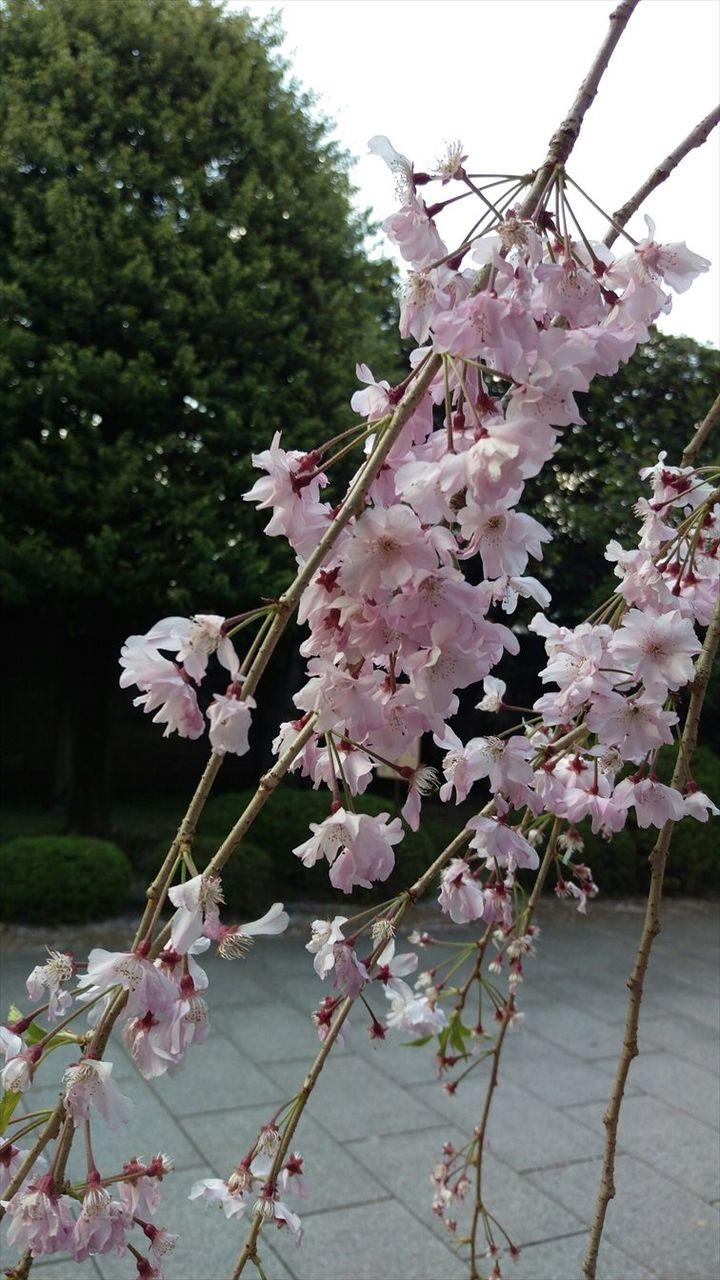 170415枝垂桜_R