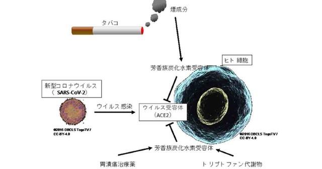 広島大学「タバコの煙がコロナを抑制する」
