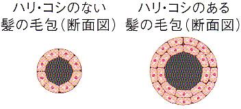 毛根鞘細胞