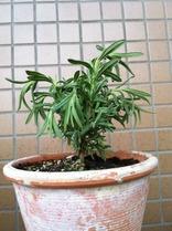 Kew Red Lavendar