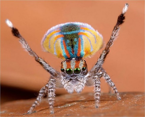 Peacock spider 1