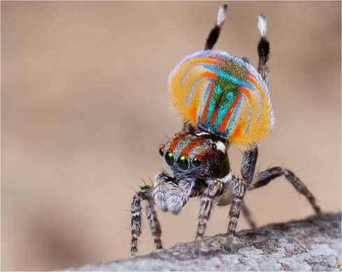 Peacock spider 6