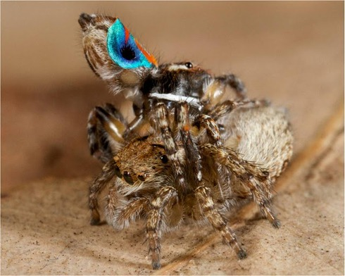 Peacock spider 16