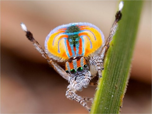 Peacock spider 4