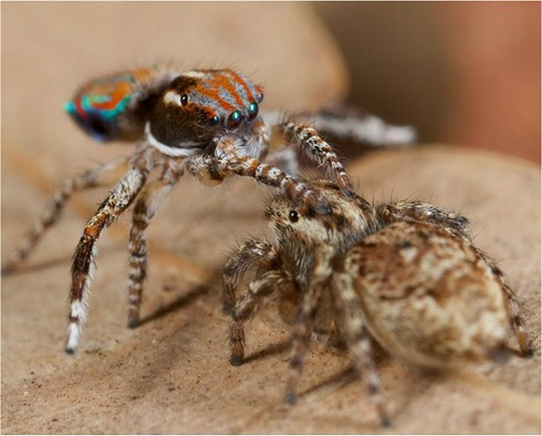 Peacock spider 8