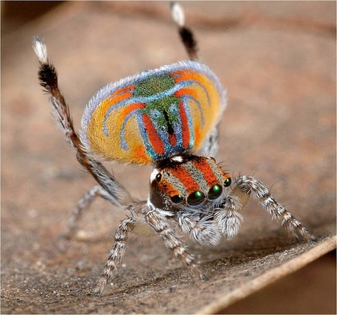 Peacock spider 10
