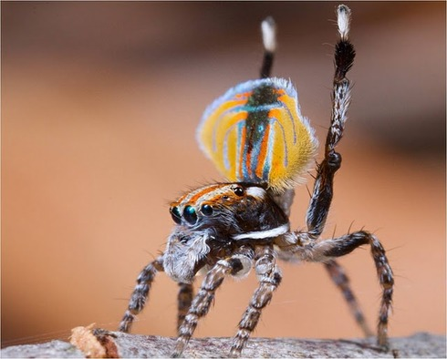 Peacock spider 18
