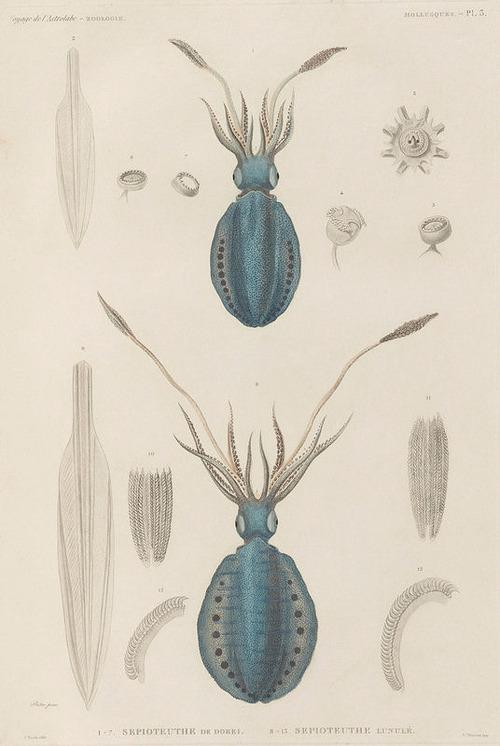 The Astrolabe Molluscs 03