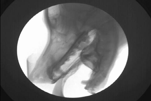 X-ray video of lapping in a dog