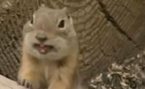 Dramatic Laughing Chipmunk!