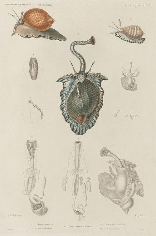 The Astrolabe Molluscs 11