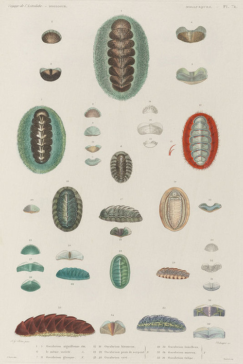 The Astrolabe Molluscs 17