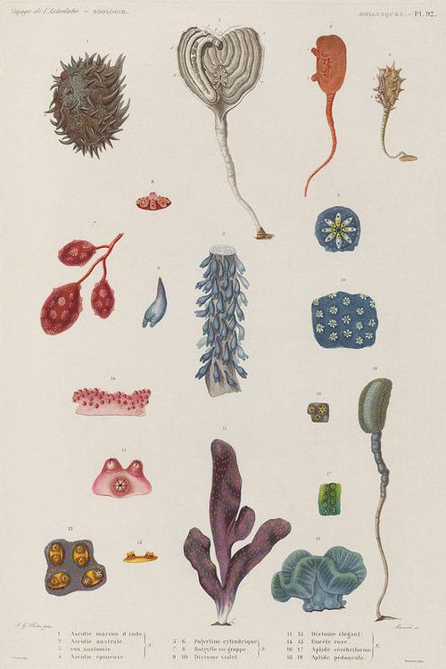 The Astrolabe Molluscs 19
