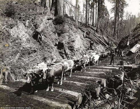 lumberjacks-redwood-8[2]