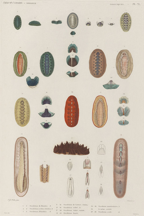The Astrolabe Molluscs 16