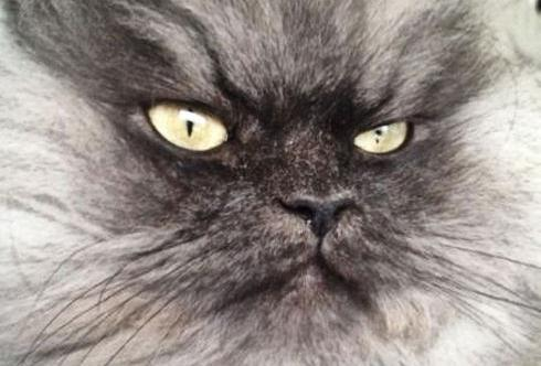 colonel_meow_might_be_the_angriest_cat_on_earth_640_26