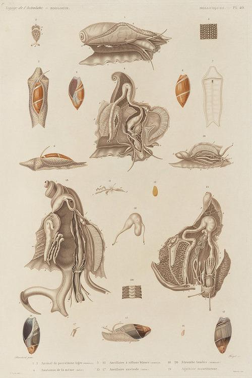 The Astrolabe Molluscs 13