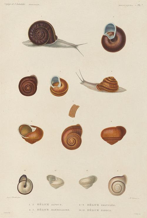 The Astrolabe Molluscs 07