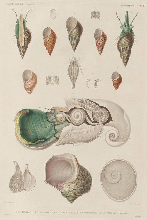 The Astrolabe Molluscs 15