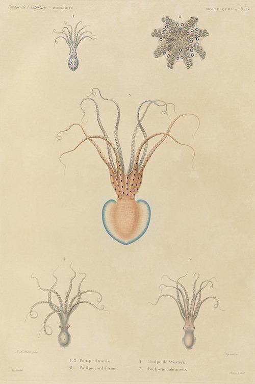 The Astrolabe Molluscs 06