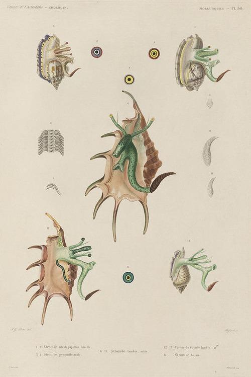 The Astrolabe Molluscs 14