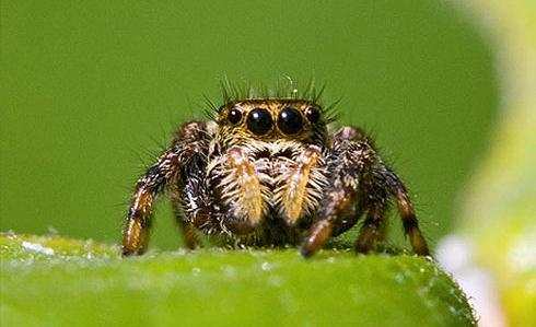 ハエトリグモの1種、学名:Phidippus clarus
