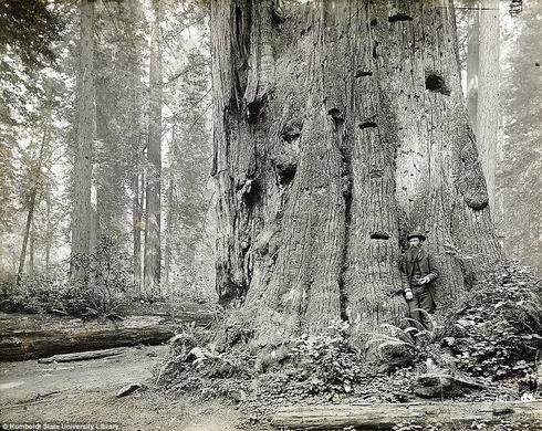 lumberjacks-redwood-4[5]