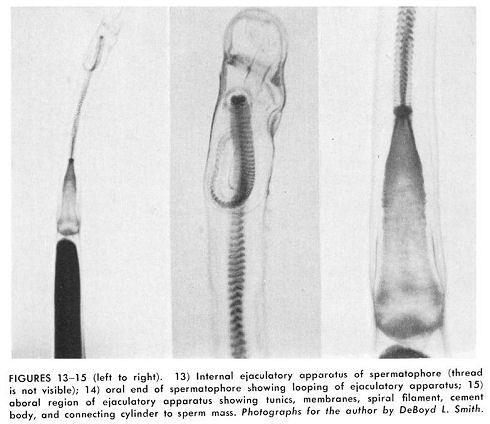 spermatophore