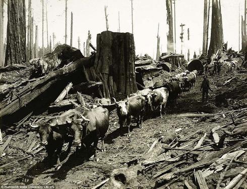 lumberjacks-redwood-1[2]