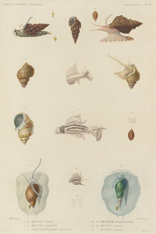 The Astrolabe Molluscs 10