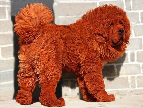 the-worlds-most-expensive-dog-1431-1300253422-17