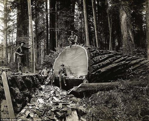 lumberjacks-redwood-7[6]